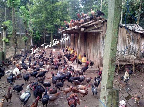Bibit Ayam Ternak teknik budidaya ternak ayam kung pt nusantara