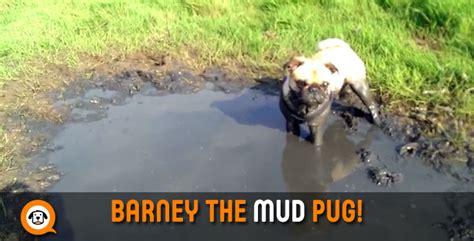 mud pug barney the mud pug might need a bath pup fans