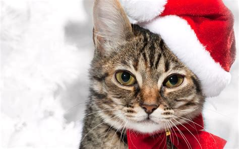 images of christmas cats christmas cat desktop wallpapers 2560x1600
