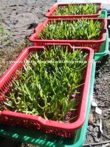 Bak Komet Untuk Nutrisi Hidroponik cara mudah menanam kangkung hidroponik menggunakan bak berlubang hidroponik untuk semua