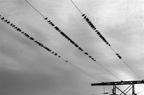free picture flock bird wire electricity sky