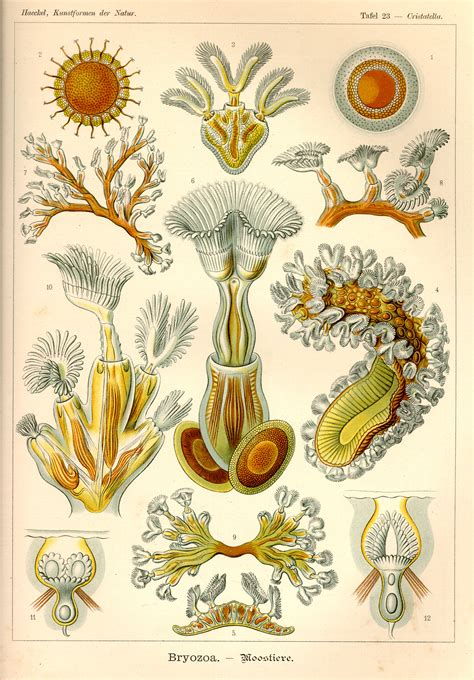 the and science of ernst haeckel multilingual edition books ernst haeckel kunstformen der natur tafel 23