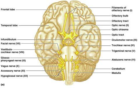 cranial nerves diagram toosogie images cranial nerves i v