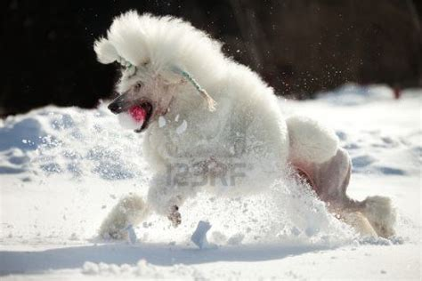 white poodle puppy puppy dogs white poodle puppy