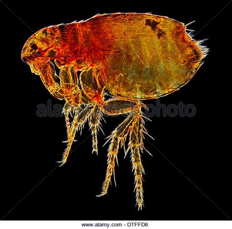 Flea L by Siphonaptera Stock Photos Siphonaptera Stock Images Alamy