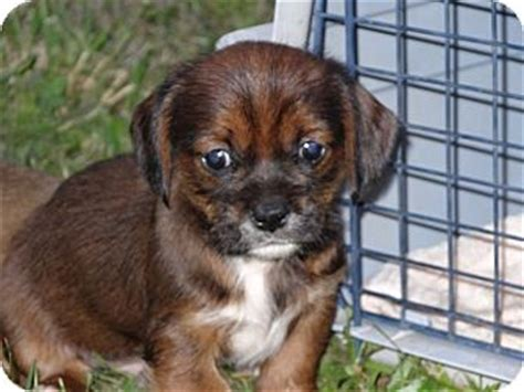 shih tzu dachshund mix puppies keith adopted puppy wilminton de shih tzu dachshund mix
