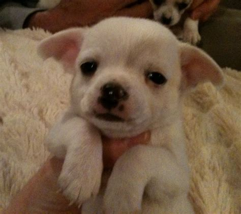 tiny chihuahua puppies tiny teacup chihuahua puppies litter trained plymouth pets4homes