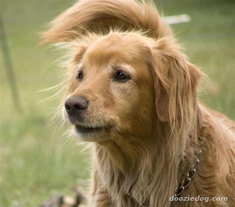 breeds golden retriever puppies golden retriever breed information golden retriever images golden breeds picture