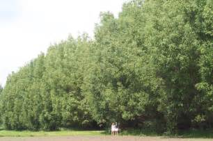 hybrid very fast growing willow trees outdoor spaces