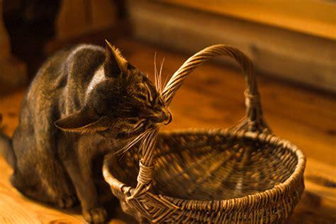 anime wicker basket wicker basket gnaw cats gif gif animation