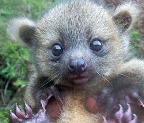 Find In Colombia Baby Olinguito Found In Colombia Animals Birds Pets