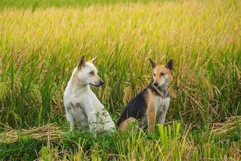 is rice ok for dogs philippines santa dogs in rice field visuell