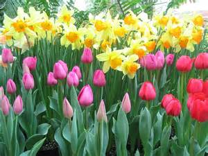 Ideas For Daffodil Varieties Design The Diligent Gardener Plant Bulbs In September