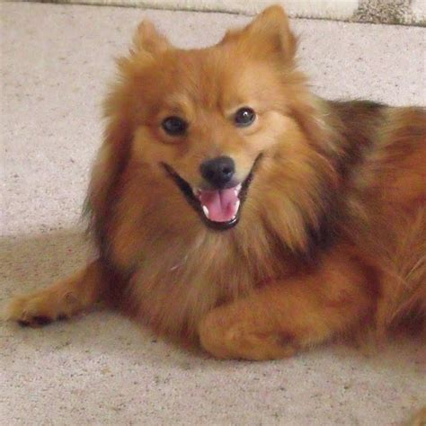 german spitz puppies german spitz breed guide learn about the german spitz