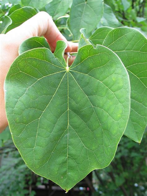eastern redbud leaves image search results