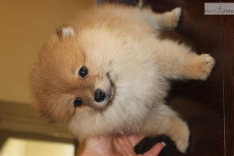 pomeranian puppies for sale in orange county adopt a pet orange county florida autos post