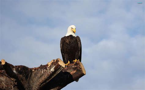 imagenes de agilas blancas american bald eagle wallpapers wallpaper cave