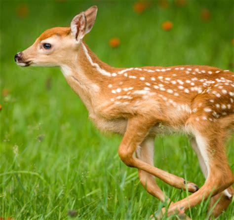of saving baby deer world s cutest baby animal baby deer