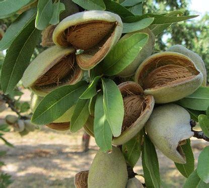 Minyak Kacang Almond peluang usaha budidaya kacang almond dan analisa usahanya