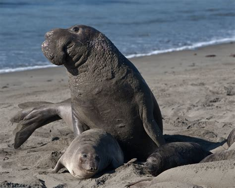 File:Mating scene with elevated Alpha Male. Elephant Seals ...