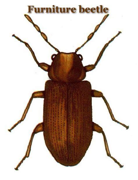 do bed bugs have hard shells hard shell bug