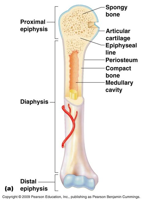 middle section of a long bone classification of bones