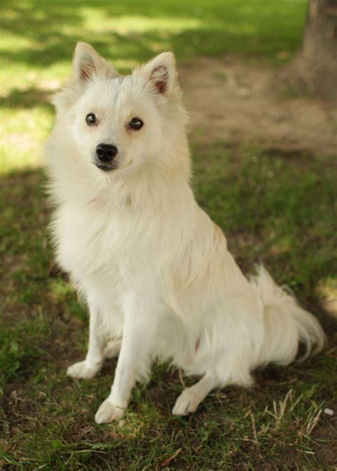 eskimo dogs american eskimo pictures breeds picture