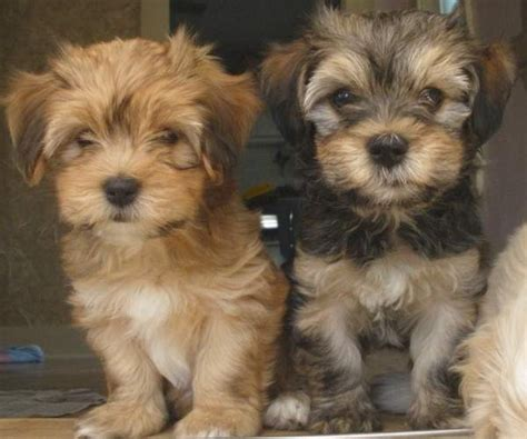 do havanese puppies shed such dogs july 2012