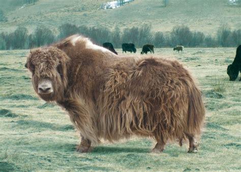 google images yak yak