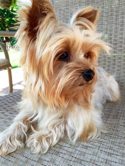 yorkie p best 20 terrier puppies ideas on