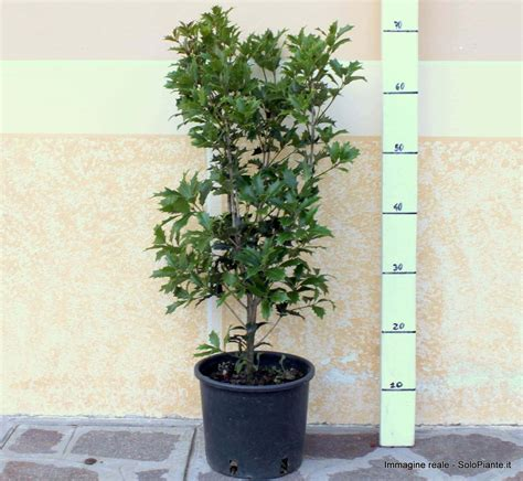 olea fragrans in vaso osmanthus ilicifolius vendita piante on line solopiante it