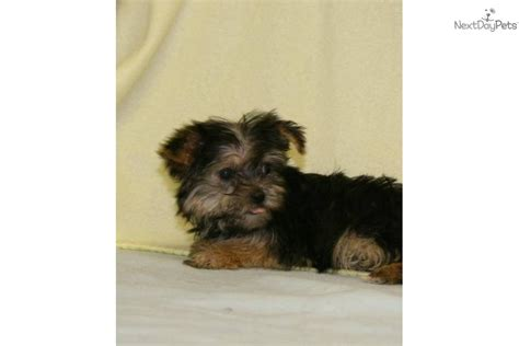 4 pound yorkie terrier yorkie puppy for sale near columbus