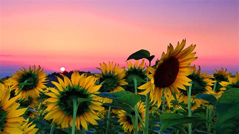 sunflower field desktop background nature hd wallpaper