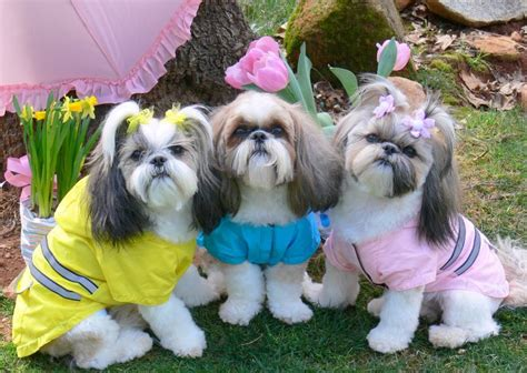 different types of shih tzu dogs all list of different dogs breeds shih tzu dogs