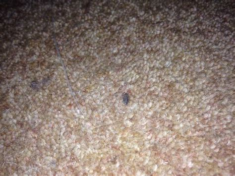 moths in rugs what do carpet moths look like of clean uk 01223 863632