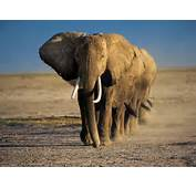 Wallpapers Elephant