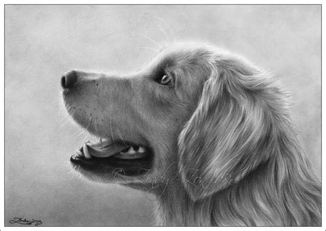 golden retriever drawing simple zindy zone dk animal drawings golden retriever drawing animal