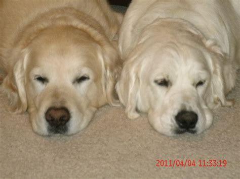 light golden retriever puppies akc golden retriever puppies light colored howell mi getpets me