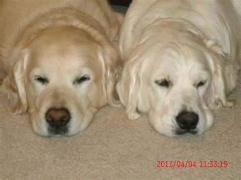 light colored golden retriever akc golden retriever puppies light colored howell mi getpets me