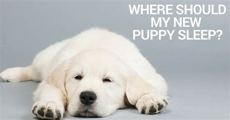 where should a puppy sleep at where should my new puppy sleep thatmutt a