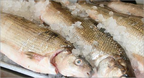 fresh fish house pin white fish on pinterest