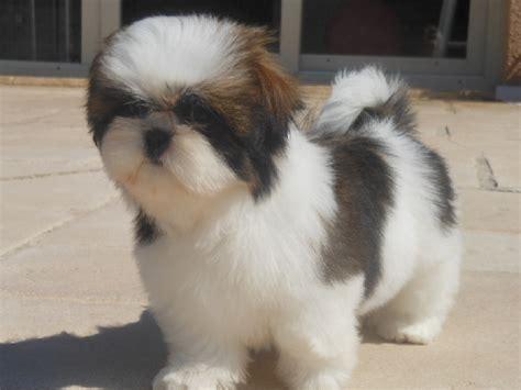 shih tzu chien prix chiot shih tzu iylang femelle disponible en rhone alpes 69 rhone toutes les