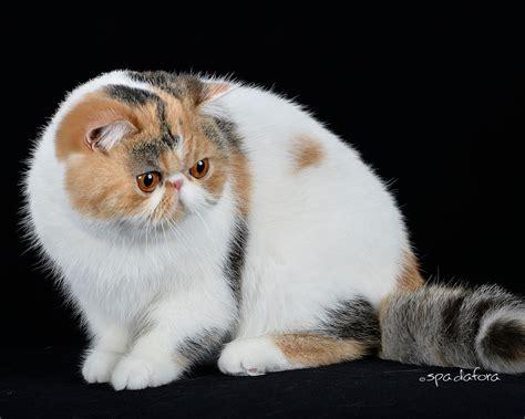 gatti persiani vendita cuccioli di persiano da allevatori italiani