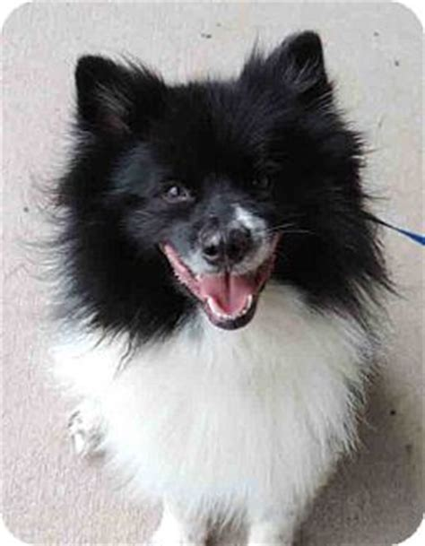 border collie pomeranian mix puppies pepper wonderful pom mix adopted cjt plano tx pomeranian border collie mix