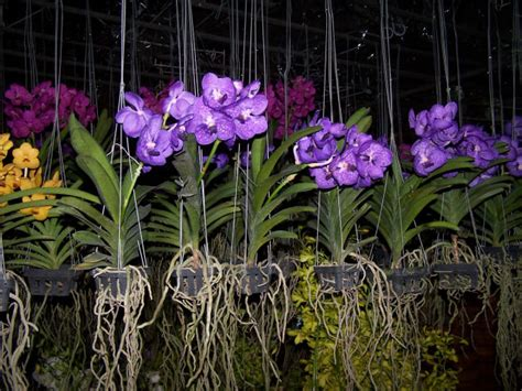 Orchid Plant Orchids Asia Orchids Collectibles Plants Vanilla Spices