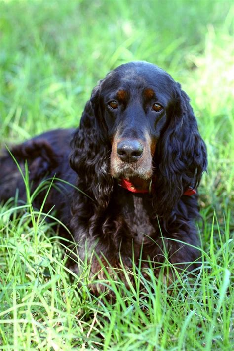 gordon setter hunting dogs for sale 42 best images about gordon setter on pinterest