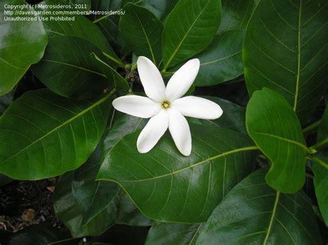tiare fiore tiare flower tahitian gardenia flowers
