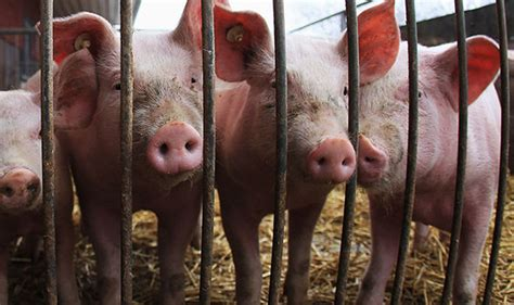 research reveals pig virus poses lethal threat  humanity