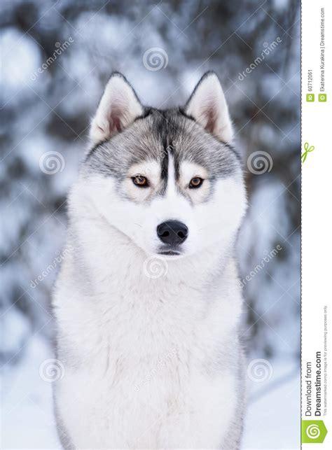 purebred husky puppy purebred husky in winter stock photo image 60712061