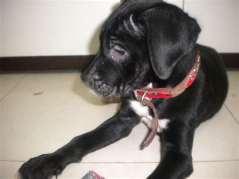 distemper for puppies signs of distemperment in puppies